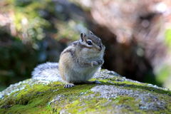 Chipmunk close up Royalty Free Stock Images