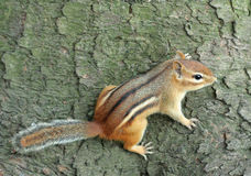 Chipmunk Clutching Tree Royalty Free Stock Photography