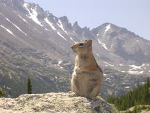 Chipmunk in the Colorado Rockies. A large chipmunk rodent sitting on a rock in the Rocky Mountain National Park in Colorado Stock Images