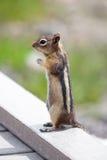 Chipmunk com fome Imagem de Stock