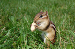 Chipmunk com fome Fotos de Stock