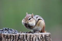 Chipmunk com fome Foto de Stock Royalty Free
