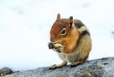 Chipmunk com fome Imagens de Stock Royalty Free