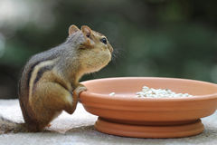 Chipmunk - Contemplative Royalty Free Stock Photo