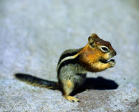 Chipmunk at Crater Lake, Oregon Stock Images