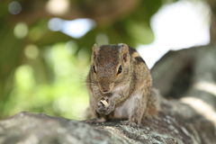 Chipmunk royalty free stock images