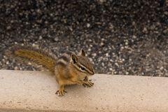 Chipmunk. Cute Chipmunk On Walkway Looking For A Handout Royalty Free Stock Photo
