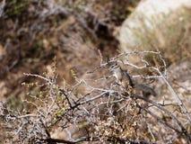 Chipmunk de désert Photos libres de droits