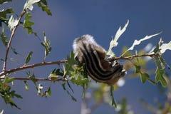 Chipmunk de falaise, dorsalis de Tamias Images libres de droits