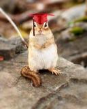 Chipmunk de graduation image stock