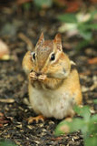 Chipmunk del este con las mejillas llenas de alimento Imagen de archivo