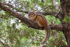 Chipmunk, der auf einem Baumzweig sitzt lizenzfreies stockfoto