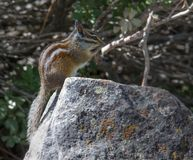 A Chipmunk In Desolation Wilderness Near Lake Tahoe. A chipmunk along a hiking trail in Desolation Wilderness near Lake Tahoe, California stock images