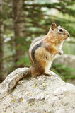 Chipmunk detail Royalty Free Stock Photo