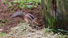 Chipmunk digs a tunnel stock video footage
