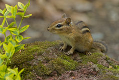 Chipmunk. Disambiguation searching for food in the garden Stock Image