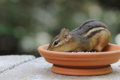 Chipmunk - In Dish Stock Image