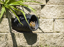 Chipmunk in Drainpipe Royalty Free Stock Images