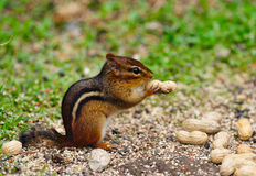 Chipmunk Earing Peanut Royalty Free Stock Images