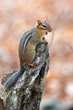 Chipmunk Climbing a tree. Royalty Free Stock Images
