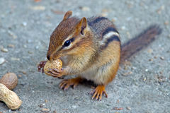 Chipmunk Eating Peanut Royalty Free Stock Image