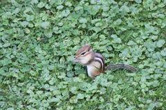Chipmunk, Eastern Tamias striatus. Eastern Chipmunk  Tamius striatus in the grass looking for seeds Stock Photo