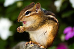 Chipmunk eating Stock Photography