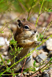Chipmunk Eating Royalty Free Stock Image
