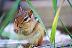 Chipmunk Eating. Cute little wild chipmunk eating bird seed from bird feeder Stock Photography