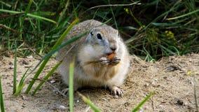 Chipmunk eating almond Royalty Free Stock Image