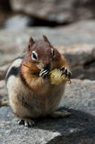 Chipmunk eating apple Royalty Free Stock Images