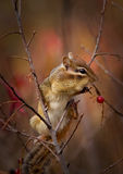 A chipmunk is eating berries. A cute chipmunk perched on a branch is stuffing its cheeks with red wild berries stock image