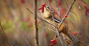 A chipmunk eating berries Stock Images