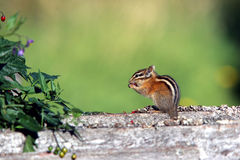 Chipmunk eating a berry. A chipmunk stands on a fallen tree while eating berries Royalty Free Stock Photography