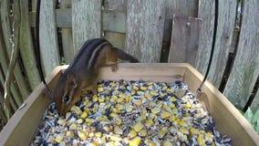 Chipmunk stock footage
