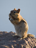Chipmunk eating bread. A Chipmunk munching away at some bread in the light of the setting sun Royalty Free Stock Photos