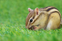 Chipmunk eating a chestnut Royalty Free Stock Photography