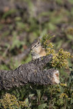 Chipmunk eating a flower Royalty Free Stock Photography