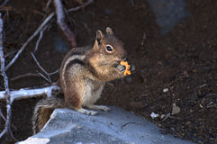 Chipmunk Eating Goldfish. A chipmunk sits on a rock and eats a goldfish cracker Stock Photos