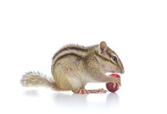 Chipmunk eating grape Stock Photography