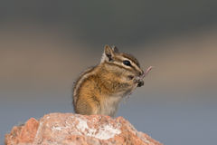 Chipmunk eating grass grain on a rock Stock Images