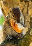Chipmunk eating a loaf royalty free stock photo