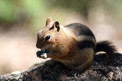 Chipmunk eating an M&M candy Royalty Free Stock Photography