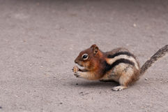 Chipmunk eating nut Royalty Free Stock Image