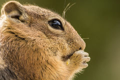 Chipmunk eating a nut close up Royalty Free Stock Photography