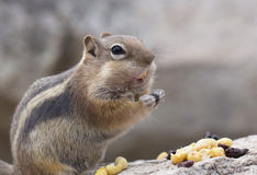 Chipmunk Eating nuts Royalty Free Stock Photos