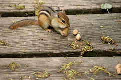 Chipmunk Eating Peanut. Royalty Free Stock Image