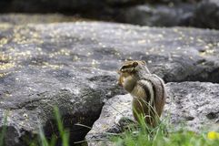 Chipmunk eating a peanut royalty free stock image