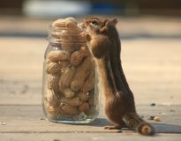 Chipmunk eating a peanut. I love Chipmunks. They are so neat to watch Stock Image