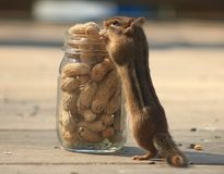 Chipmunk eating a peanut. I love Chipmunks. They are so neat to watch Royalty Free Stock Photography